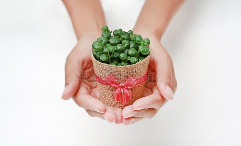 Piccolo albero in un vaso avvolto in tela da imballaggio sulla mano della donna contro fondo bianco fotografia stock