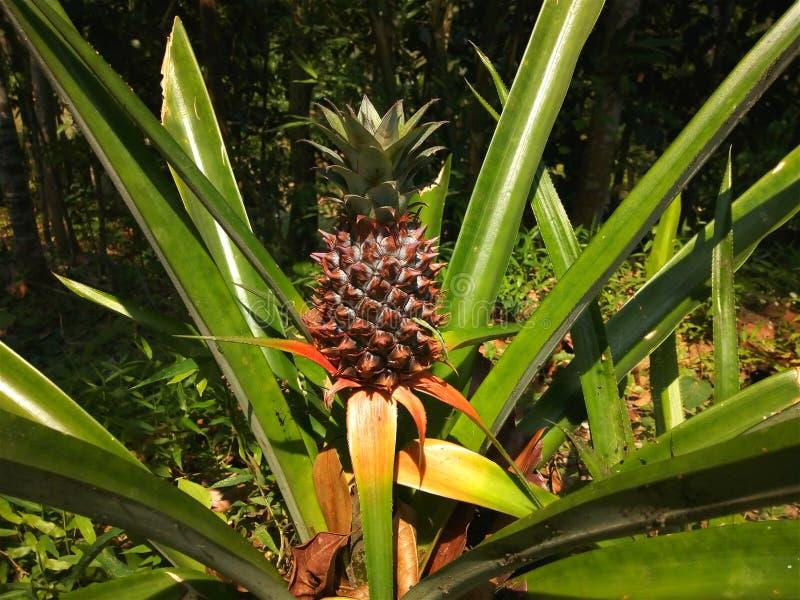 Piccolo ananas neonato fotografia stock