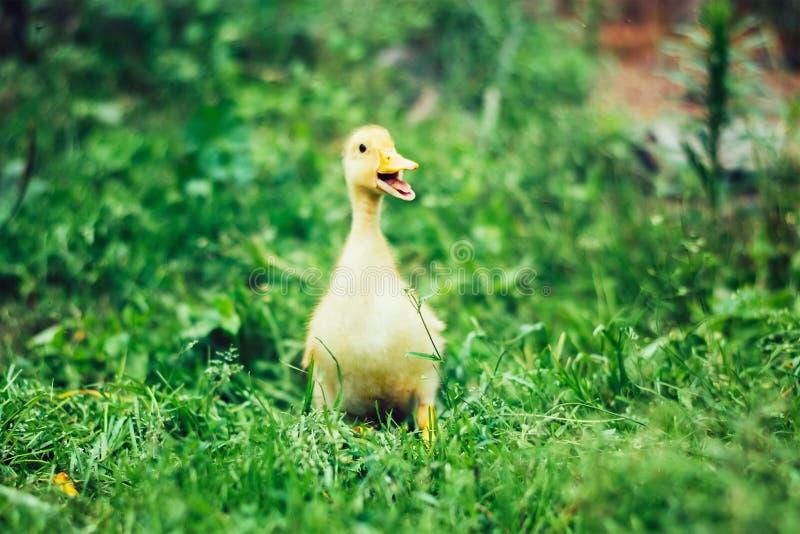 Piccolo anatroccolo giallo su erba verde fotografie stock