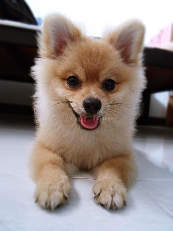 Piccolo animale domestico marrone pomeranian sveglio del cane fotografie stock libere da diritti