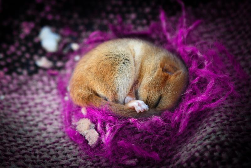 Piccolo animale sveglio che dorme in coperta viola fotografia stock