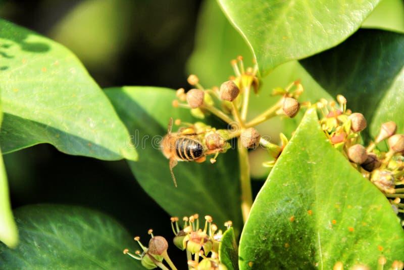 Piccolo ape sul fiore di hedera helix immagine stock