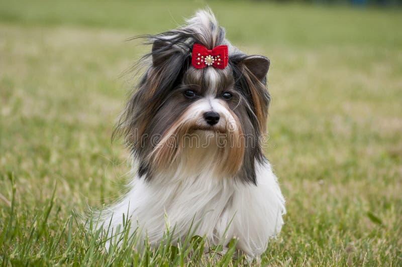 Piccolo bello Yorkshire terrier di Biewer del cane immagini stock