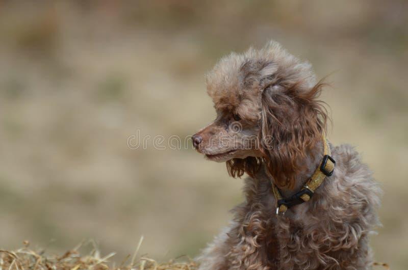 Piccolo Brown Toy Poodle fotografia stock libera da diritti