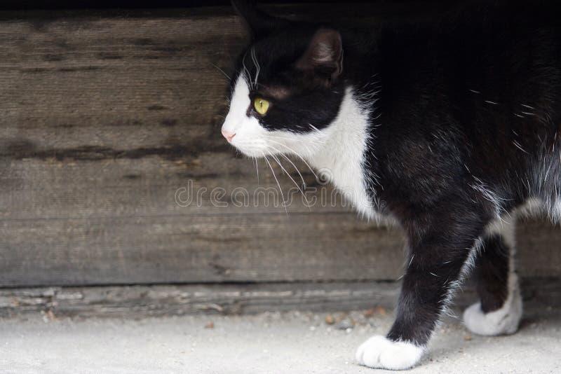 Piccolo camminare adorabile del gatto immagine stock