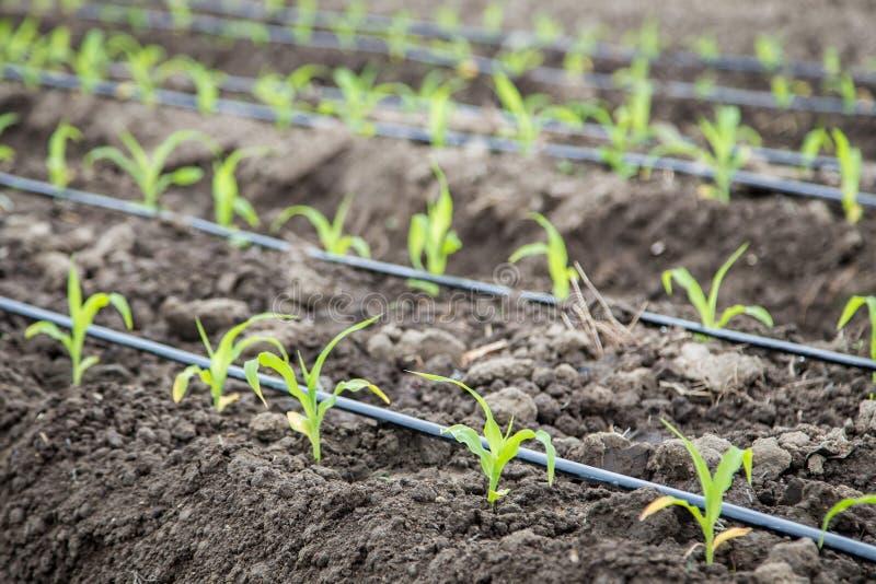 Piccolo campo di grano con irrigazione a goccia fotografia stock