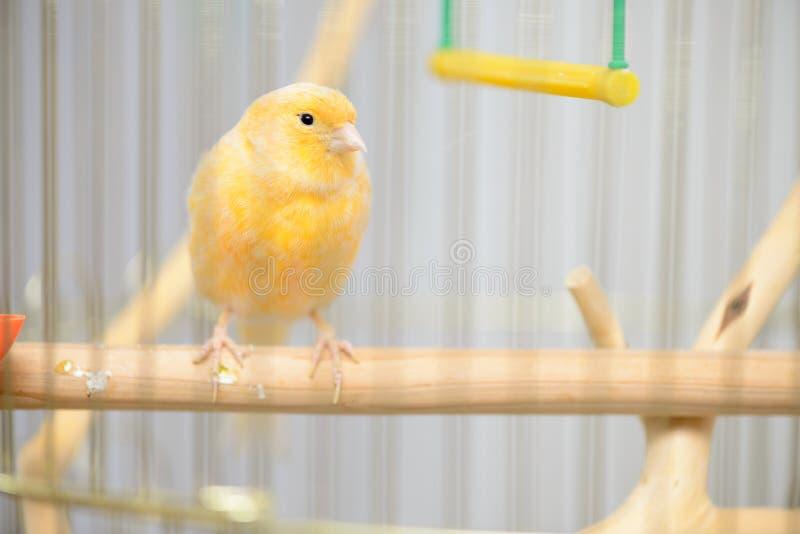 Piccolo canarino giallo immagini stock libere da diritti