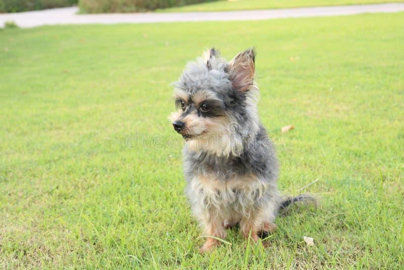 Piccolo cane adorabile di Yorkie immagine stock libera da diritti