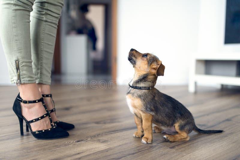 Piccolo cane amoroso che fissa su al suo proprietario femminile immagini stock libere da diritti