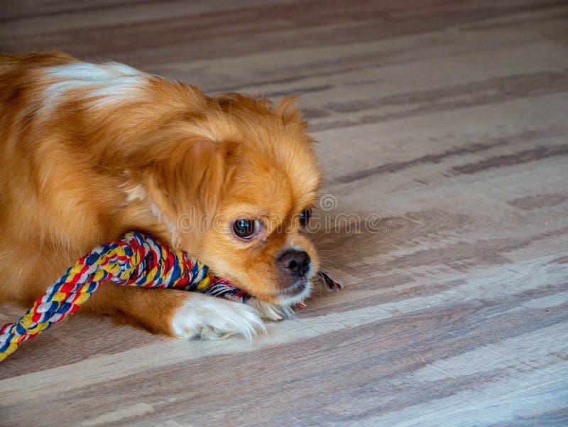 Piccolo cane annoiato con un guinzaglio sta trovandosi sul pavimento a casa fotografia stock libera da diritti
