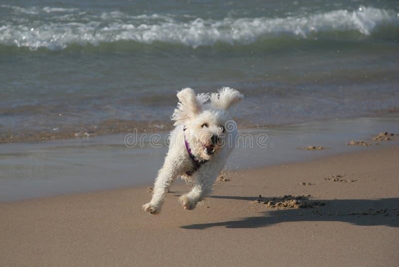 Piccolo cane bianco che funziona sulla spiaggia immagini stock libere da diritti