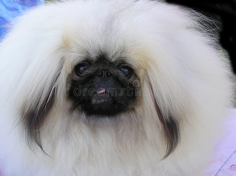 Piccolo cane bianco dai capelli lunghi fotografie stock