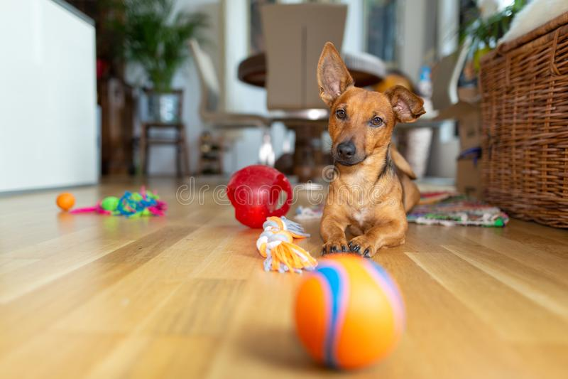 Piccolo cane a casa nel salone che gioca con i suoi giocattoli immagini stock