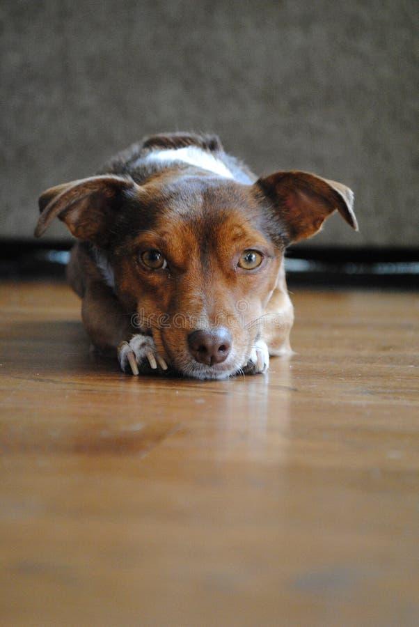 Download Piccolo Cane Che Mette Su Pavimento Immagine Stock - Immagine di bello, cane: 30825553