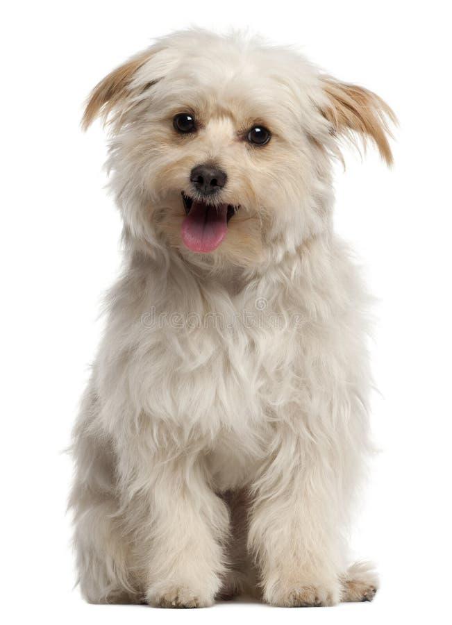 Piccolo cane che si siede e che ansima davanti al bianco fotografia stock libera da diritti