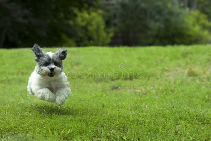 Piccolo cane corrente bianco immagine stock