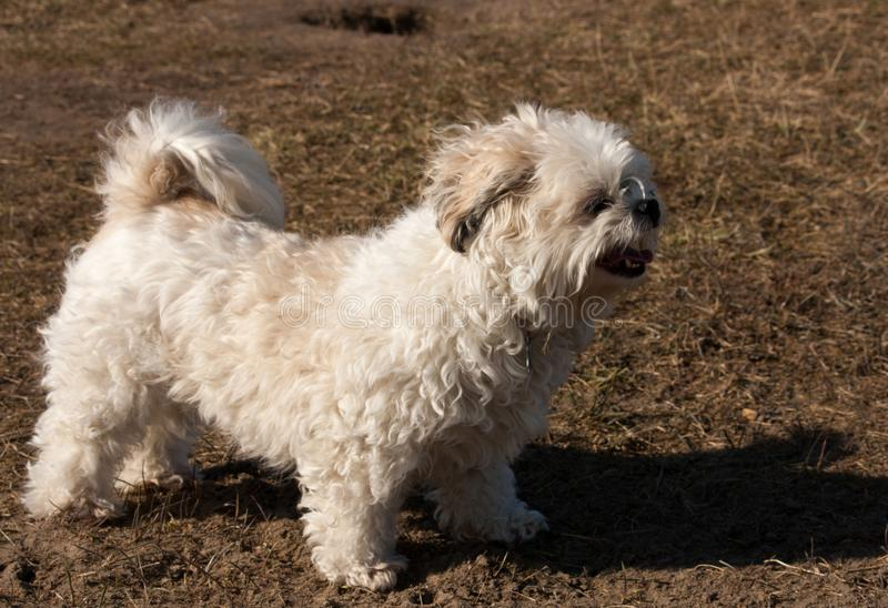 Piccolo cane dell'incrocio che cammina nel parco immagini stock libere da diritti