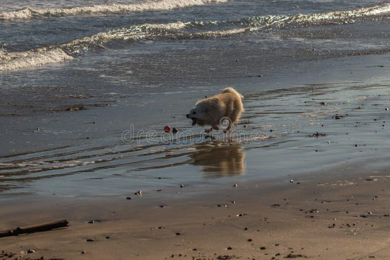 Piccolo cane di animale domestico nell'inseguimento ravvicinato di una palla fotografia stock libera da diritti