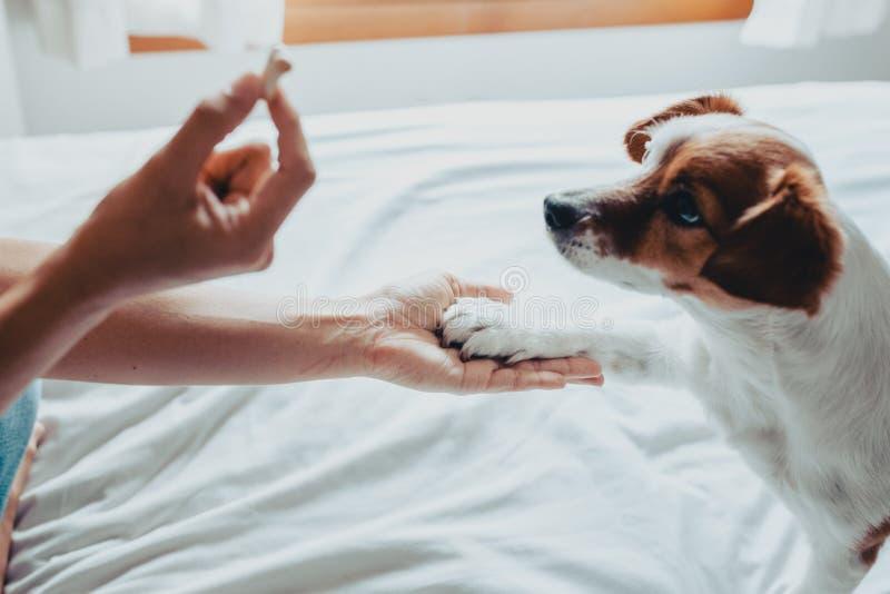 Piccolo cane di russell della presa che ottiene un biscotto come ossequio per buon comportamento dalla mano del suo proprietario  fotografie stock libere da diritti