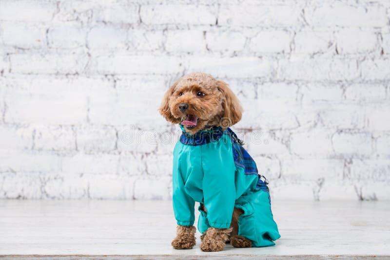 Piccolo cane divertente di colore marrone con peli ricci della razza del barboncino di giocattolo che posa in vestiti per i cani  immagini stock