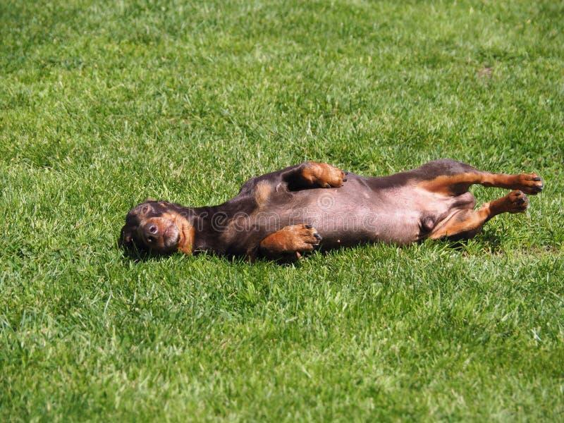 Piccolo cane felice che si trova sul suo indietro nell'erba verde immagine stock