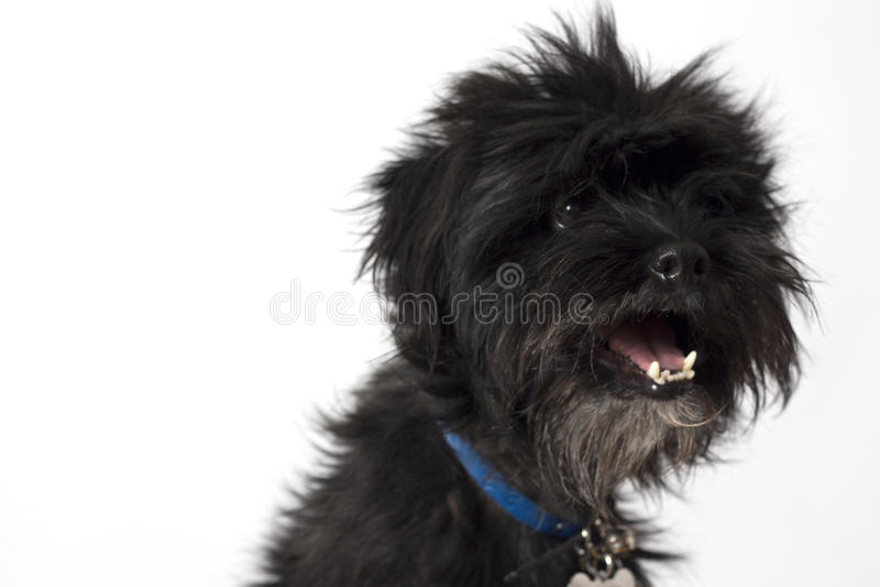 Piccolo cane felice nero fotografia stock libera da diritti