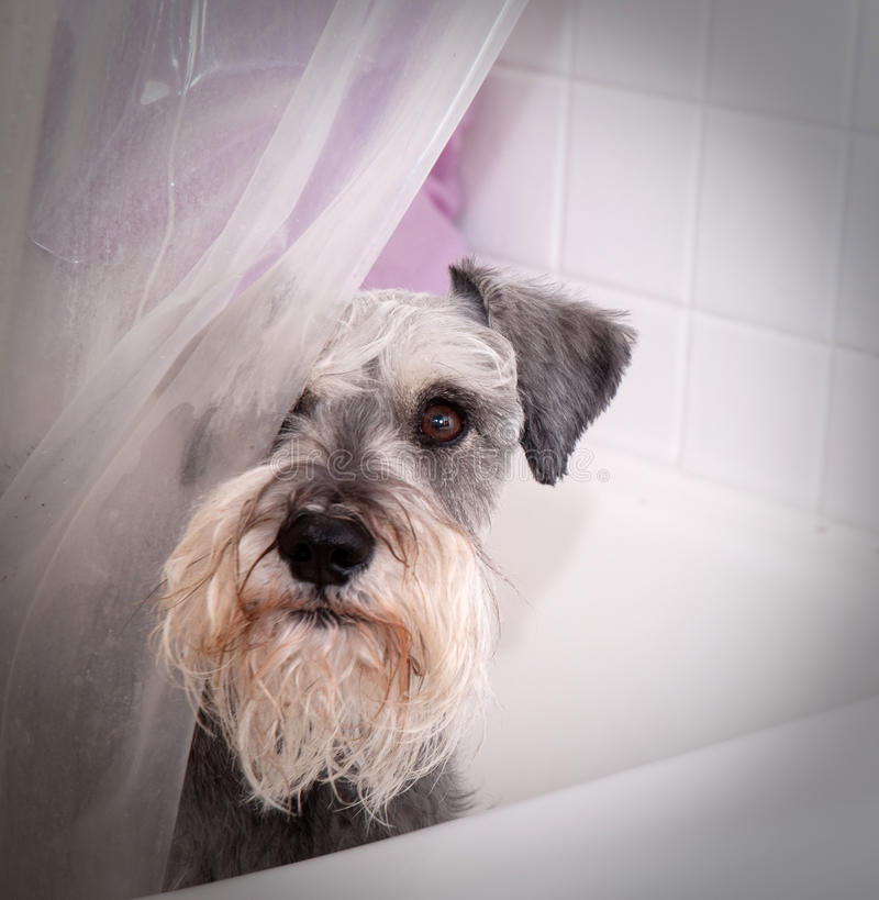 Piccolo cane grigio in vasca di bagno immagine stock libera da diritti