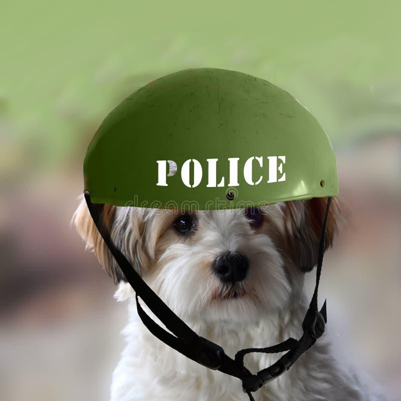 Piccolo cane havanese del cucciolo che indossa un casco della polizia fotografie stock libere da diritti