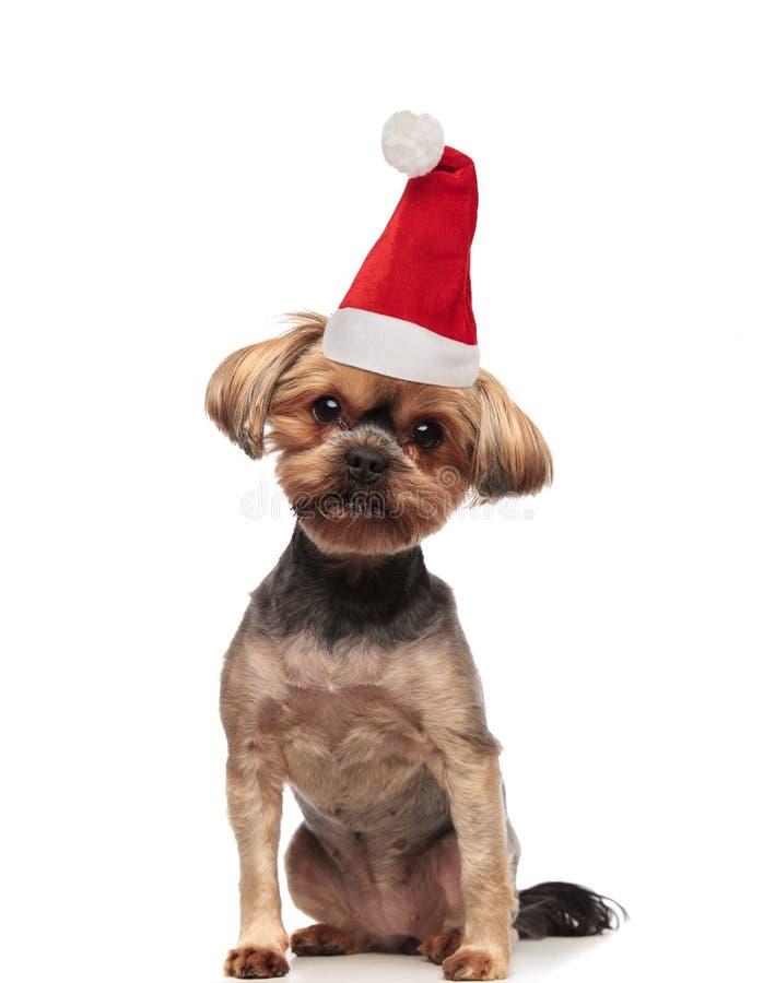 Piccolo cane marrone adorabile che indossa seduta del cappello di Santa immagine stock libera da diritti
