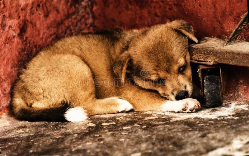 Piccolo cane marrone sveglio che dorme all'angolo immagini stock