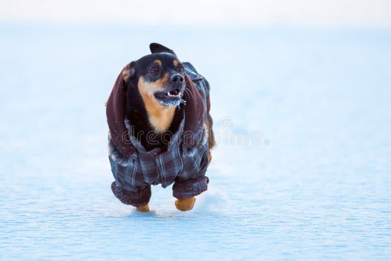 piccolo cane nell'inverno con i vestiti immagini stock