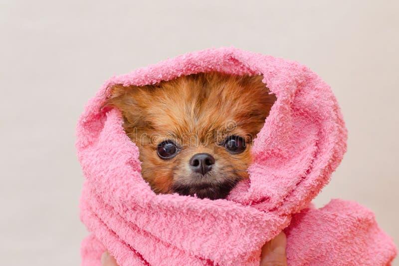 Piccolo cane pomeranian adorabile in un asciugamano rosa dopo il bagno, governante fotografia stock libera da diritti