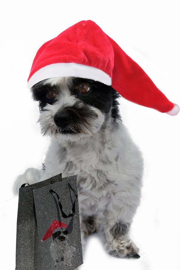 Piccolo cane sembrante annoiato con il cappuccio di Santa immagine stock libera da diritti