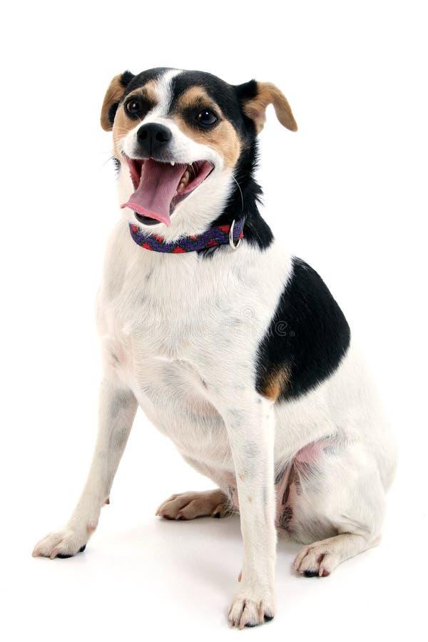 Piccolo cane sveglio che si siede con la linguetta che appende fuori fotografia stock