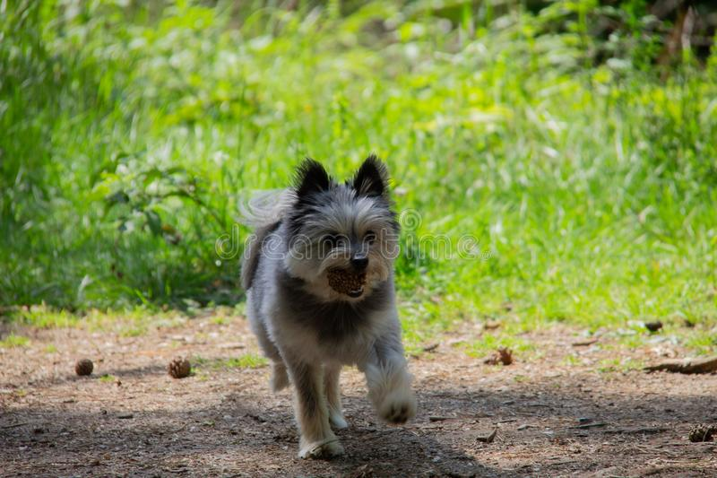 Piccolo cane Yorkshire e camminata pomerarian nella foresta che gioca con un ananas immagine stock