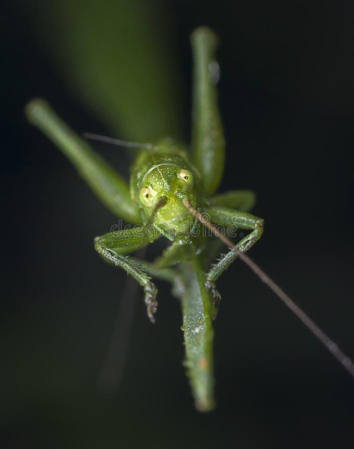 Piccolo cavalletta verde ha preso l'esame della macrofotografia della macchina fotografica immagini stock