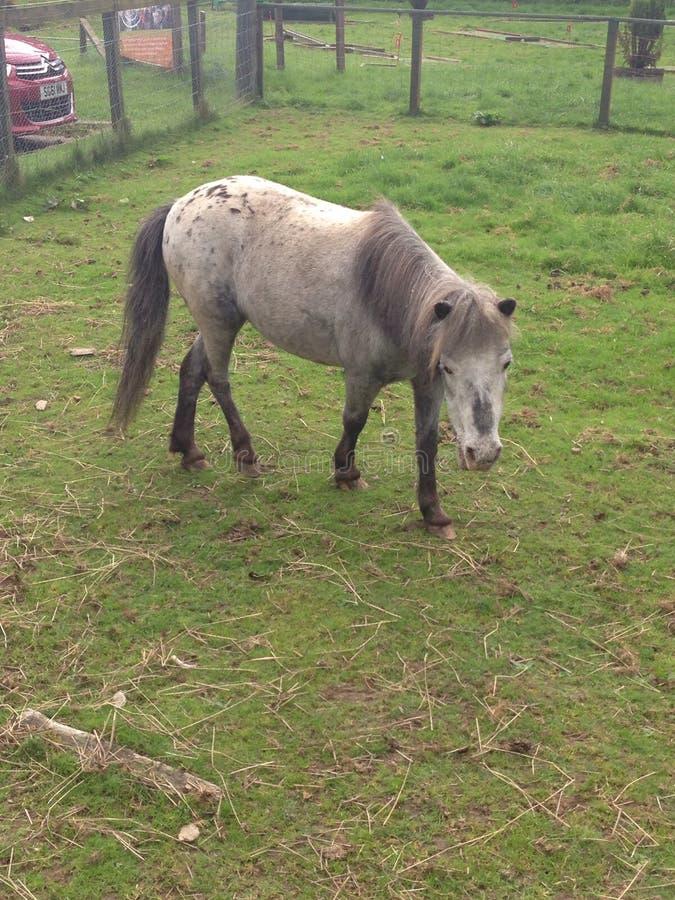 Piccolo cavallino grigio fotografia stock libera da diritti