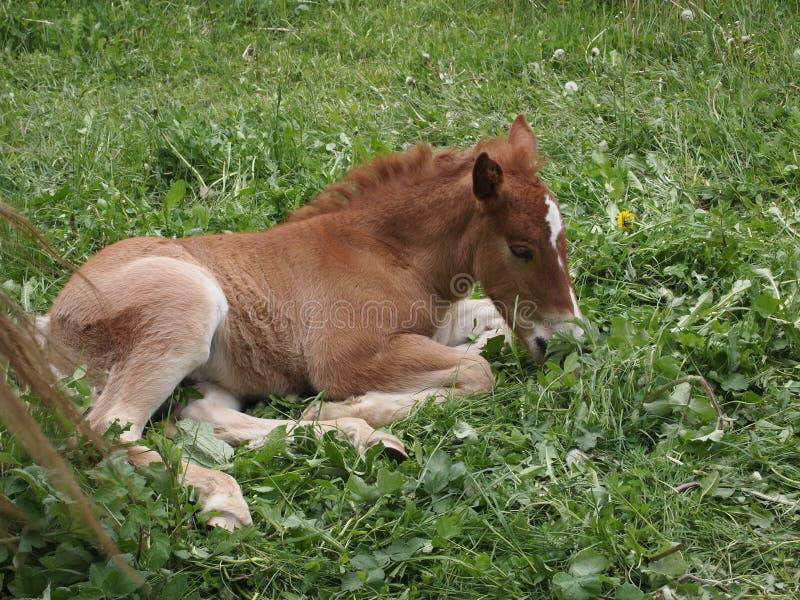 Piccolo cavallo fotografia stock
