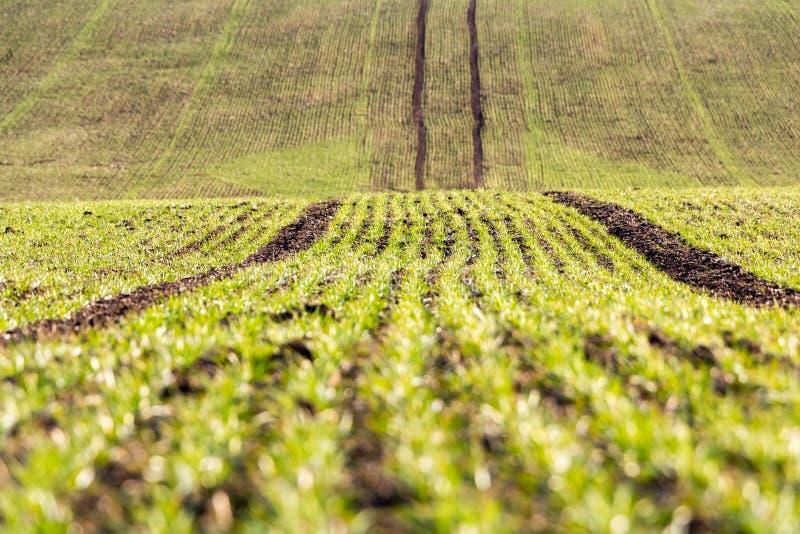 Piccolo cereale verde sul giacimento della molla fotografie stock libere da diritti