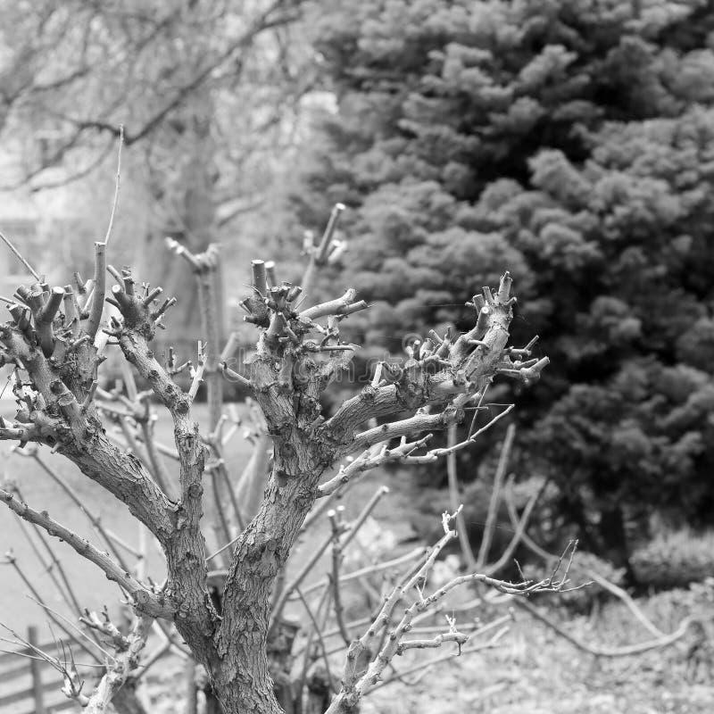 Piccolo cespuglio ridotto molto potato dell'albero arbusto immagine stock