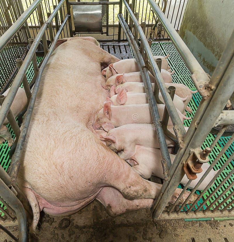 Piccolo cibo del maiale immagini stock libere da diritti