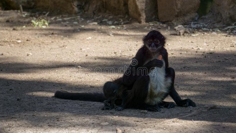 piccolo cibo nero delle scimmie fotografia stock