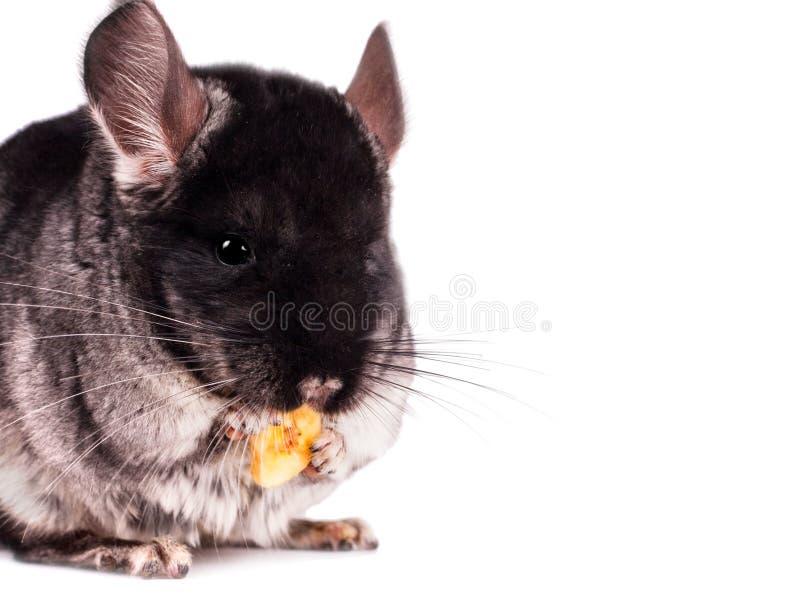 Piccolo cincillà che mangia una banana immagini stock libere da diritti