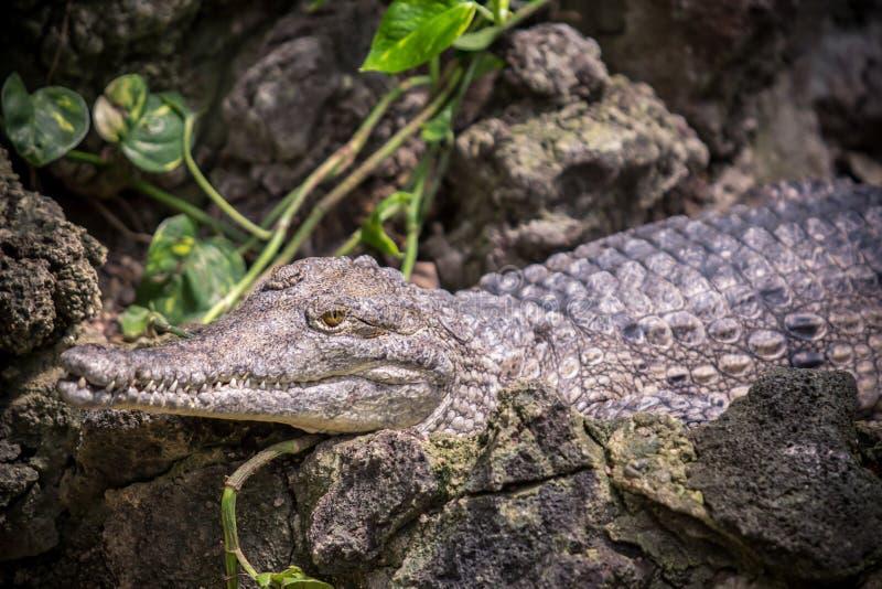 Piccolo coccodrillo di caimano fotografia stock