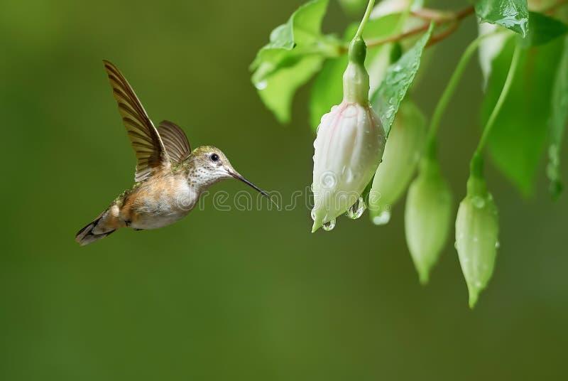 Piccolo colibrì variopinto con le piume iridescenti immagine stock