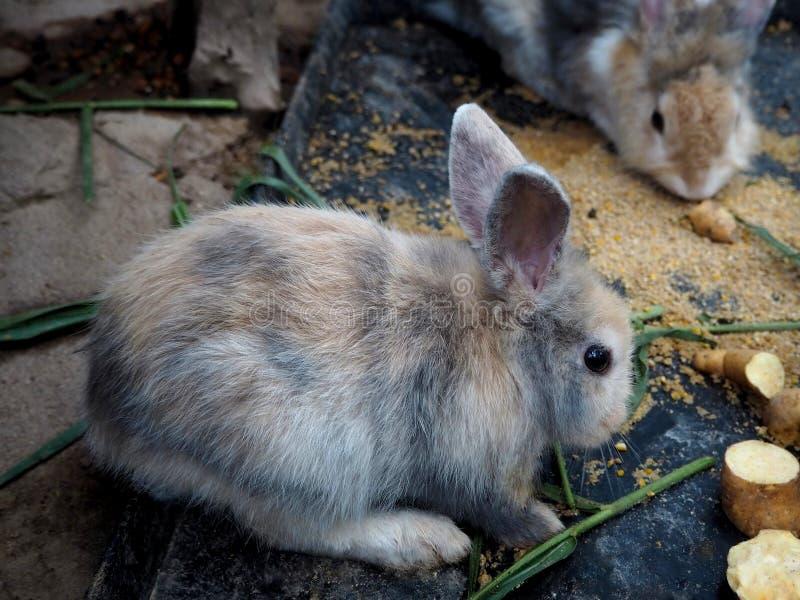 Piccolo conigli che mangiano le patate nell'azienda agricola immagine stock libera da diritti