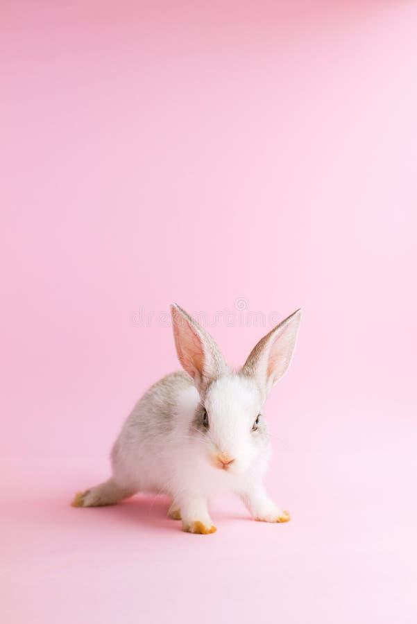 Piccolo coniglio addomesticato su fondo rosa Animale domestico Dwarfish immagine stock