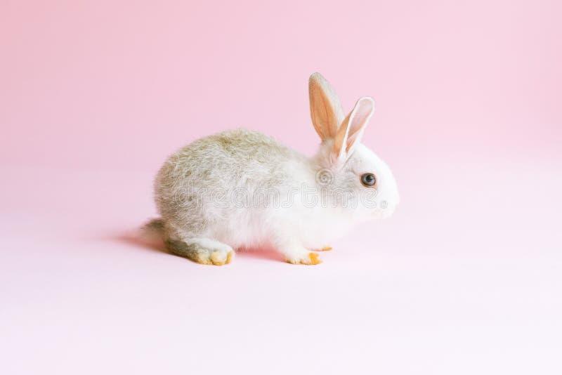 Piccolo coniglio addomesticato su fondo rosa Animale domestico Dwarfish fotografia stock libera da diritti