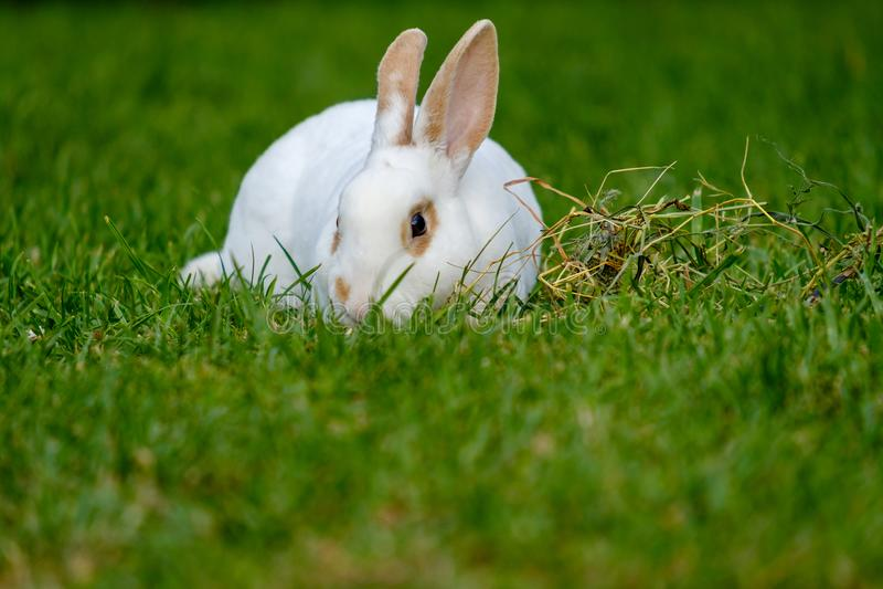 Piccolo coniglio bianco calmo e dolce che si siede sull'erba verde fotografia stock libera da diritti