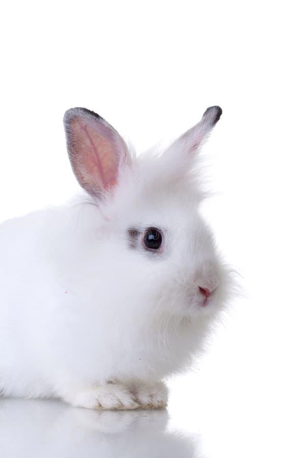 Piccolo coniglio bianco molto sveglio immagine stock libera da diritti